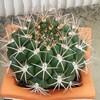 cactus-of-guppy